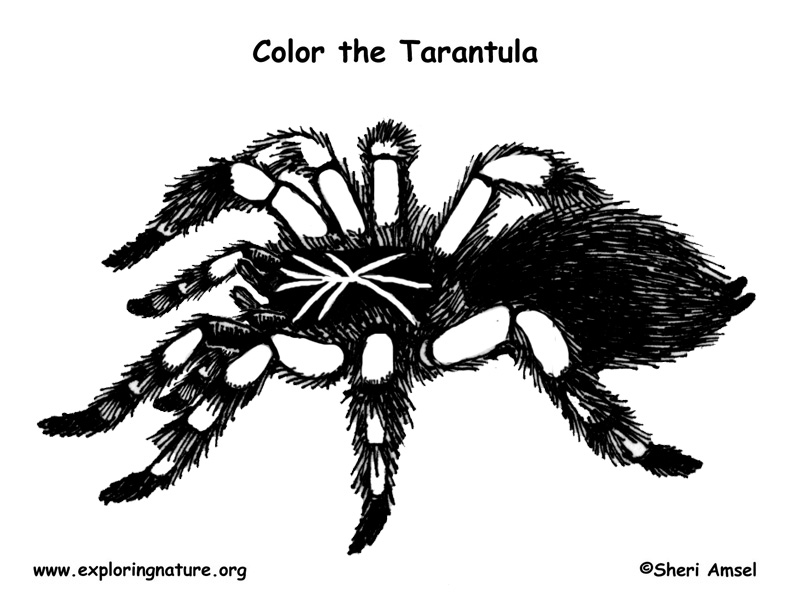 coloring pages tarantula - photo#32