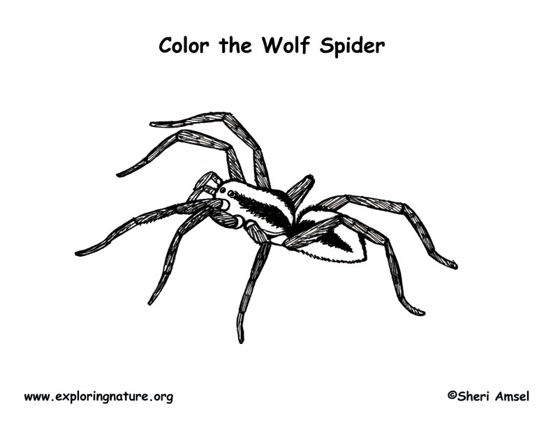 Spider (Wolf) Coloring Page