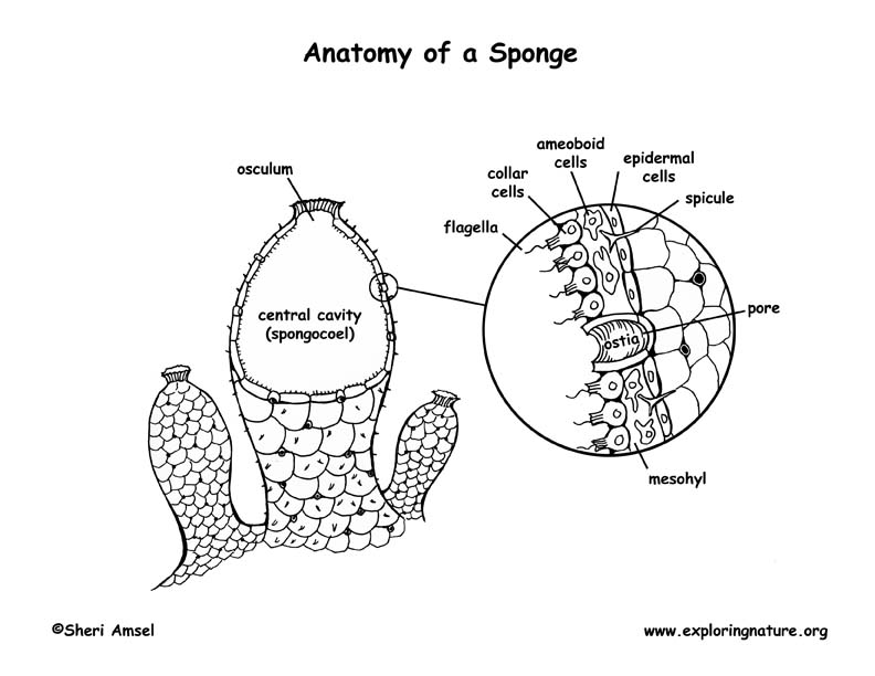 sponge anatomy coloring page. Black Bedroom Furniture Sets. Home Design Ideas