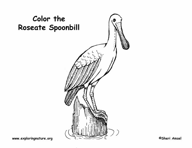 spoonbill  roseate  coloring page