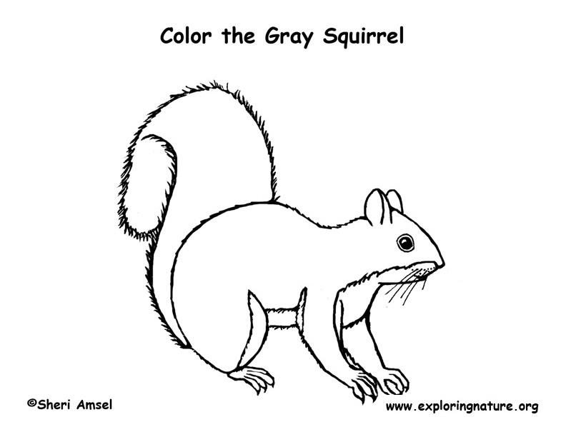 Squirrel (Gray) Coloring Page