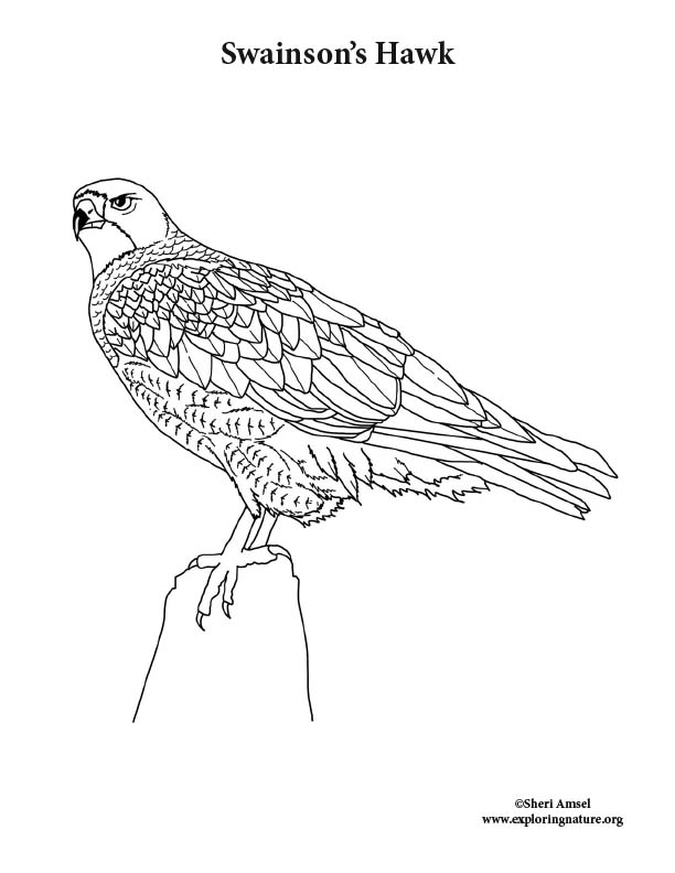Swainson's Hawk Coloring Page