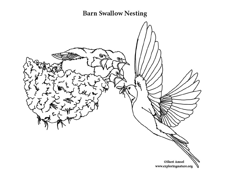 Barn swallow nesting Coloring Page