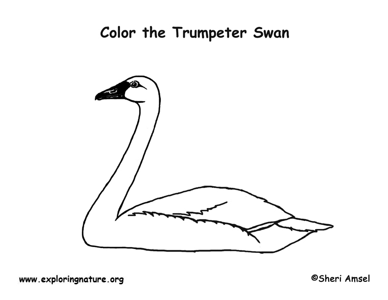 Swan (Trumpeter) Coloring Page