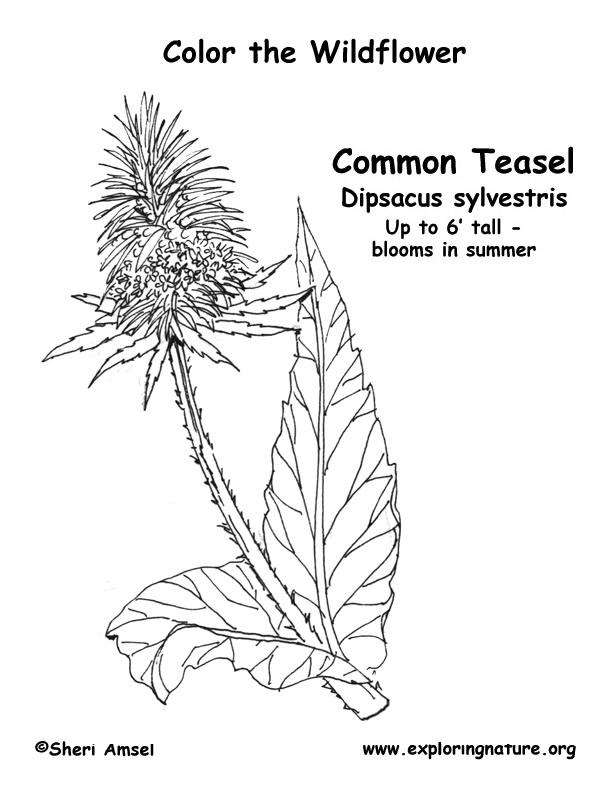 Teasel Coloring Page