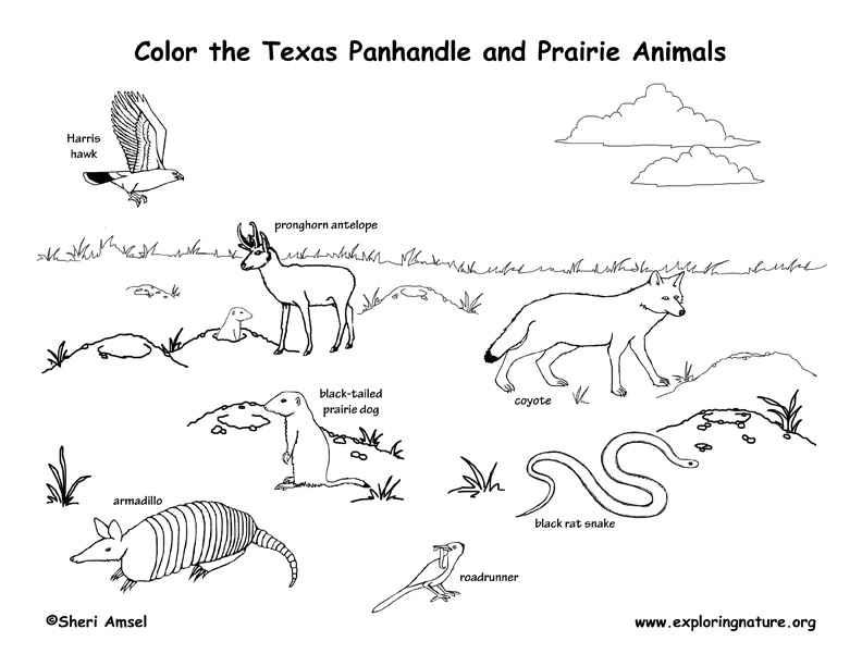 armadillo animal coloring pages.  Texas Panhandle and Prairie Animals Coloring Page