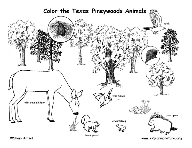 Texas Pineywoods Animal Coloring Page