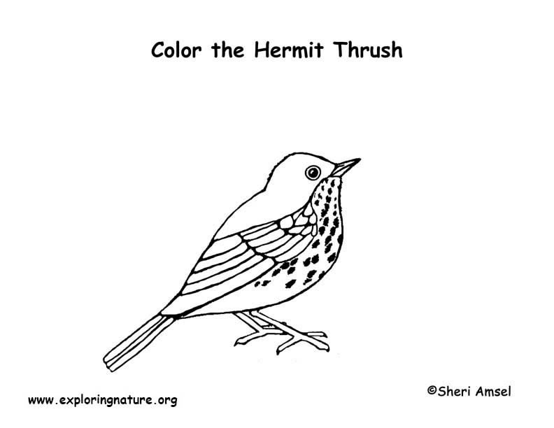 Thrush (Hermit) Coloring Page