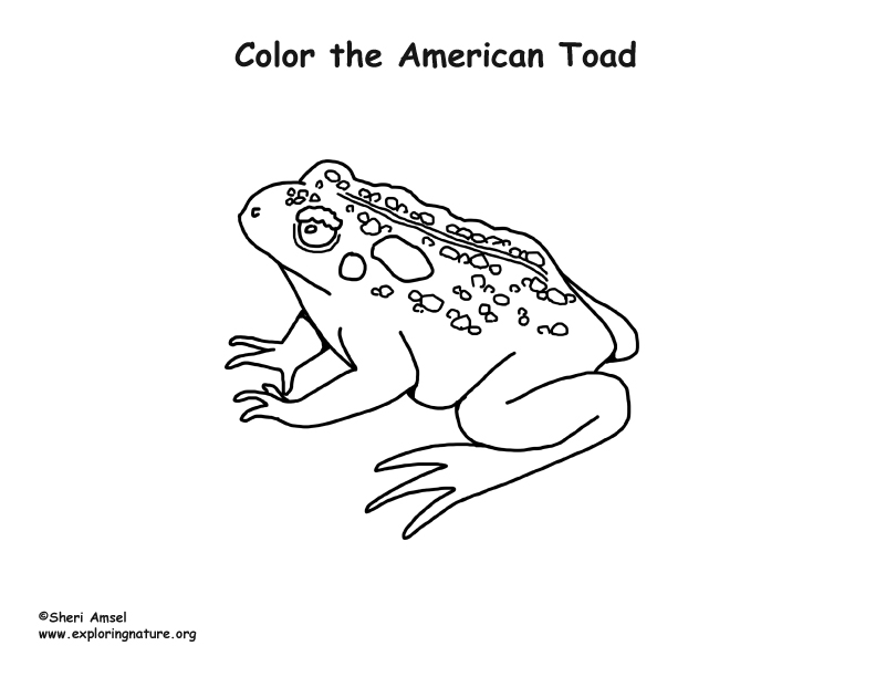Amphibian Toad Color Page - Worksheet & Coloring Pages
