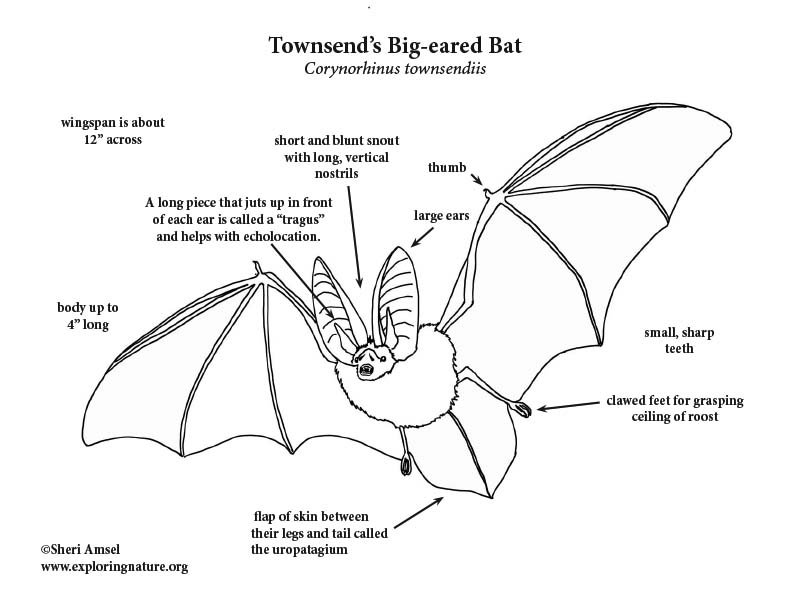 Townsend's Big-eared bat Coloring Page