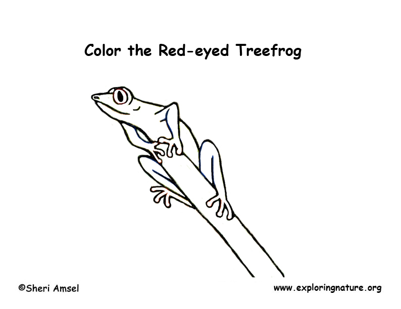 Red Eyed Treefrog Coloring Page Exploring Nature Eyed Tree Frog Coloring Page