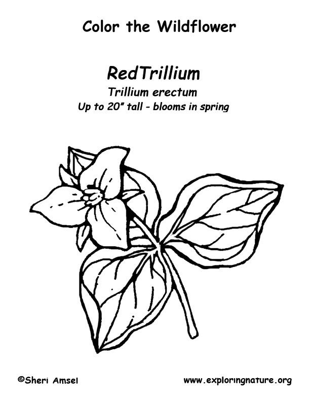 Trillium Coloring Page