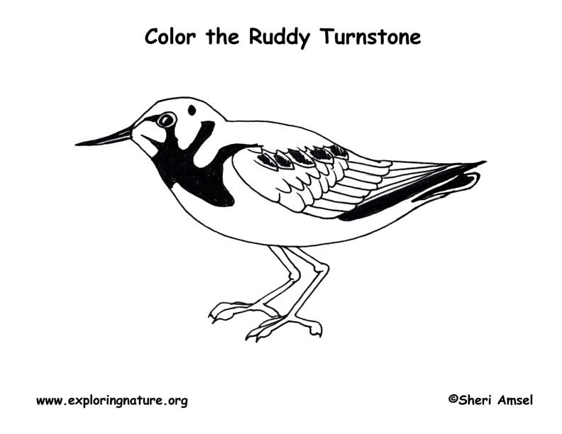 Turnstone (Ruddy) Coloring Page