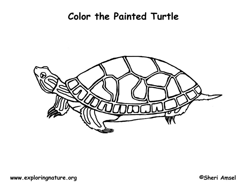 Painted Turtle Coloring Page