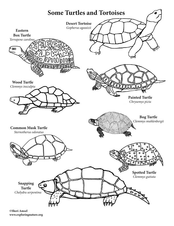 Turtes and Tortoises – Coloring Page