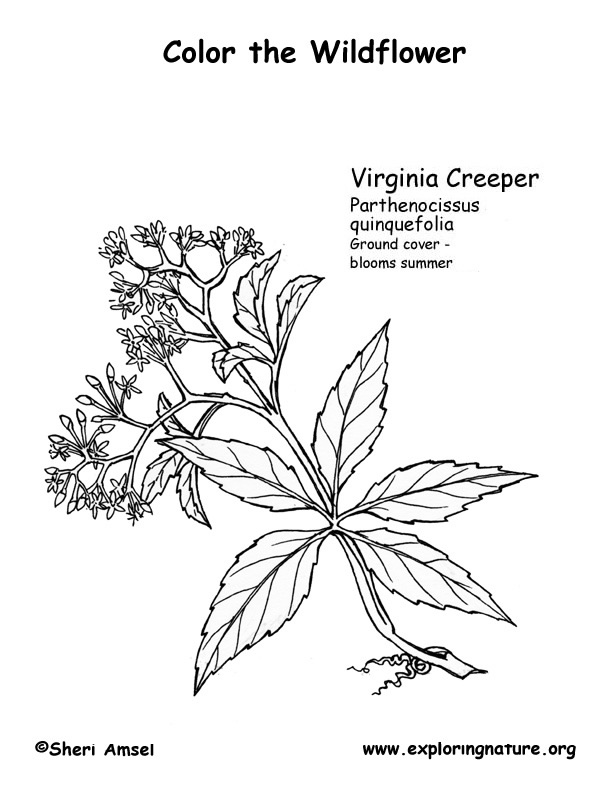 Virginia Creeper Coloring Page