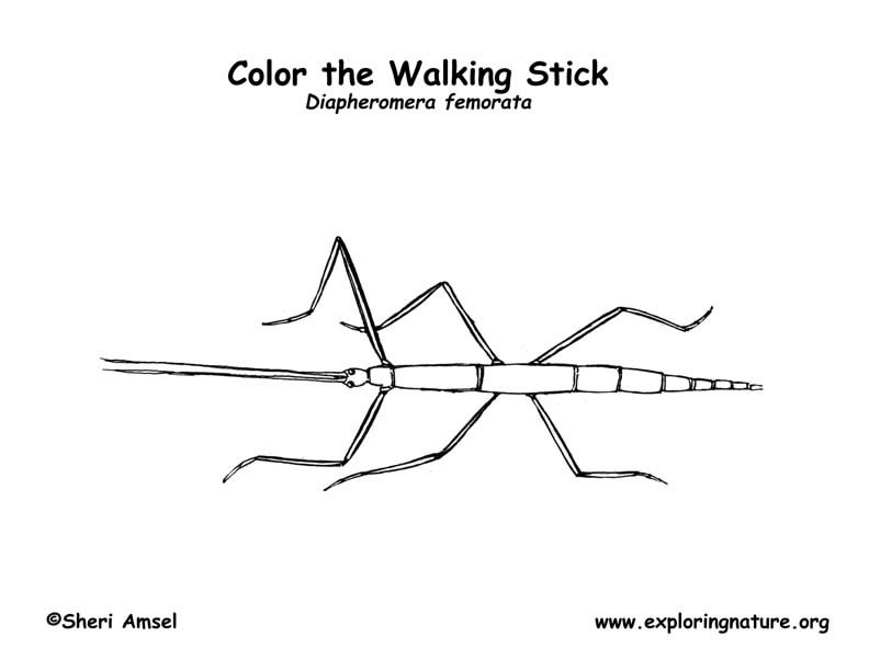 Walkingstick Coloring Page