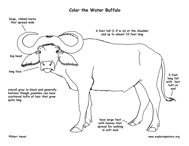 Water Buffalo Labeling Page