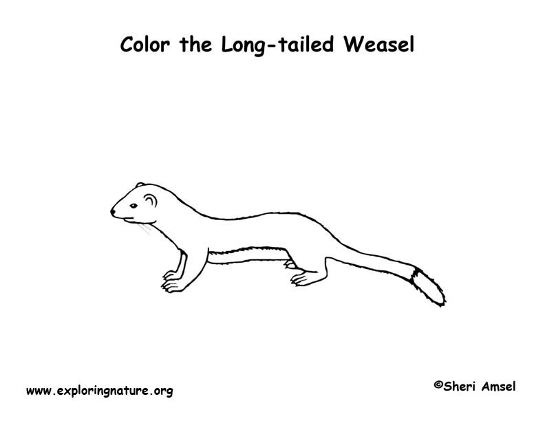 Weasel (Longtail) Coloring Page
