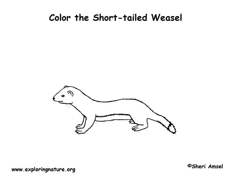 Weasel Shorttailed or Ermine Coloring Page