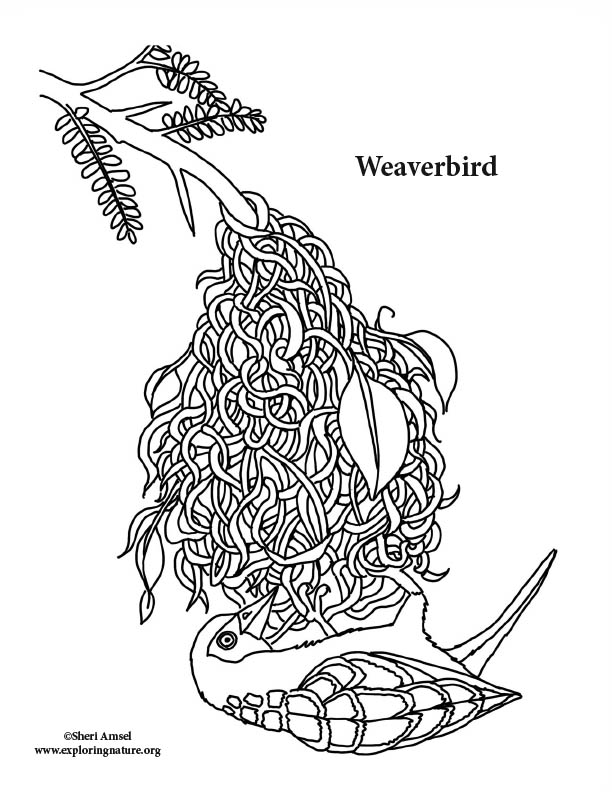 Weaverbird Coloring Page