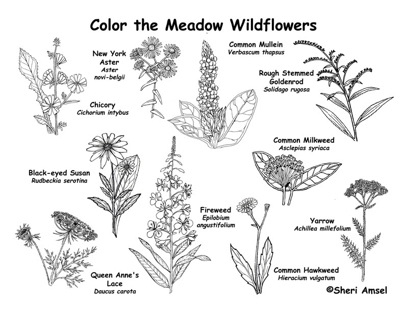 Meadow Wildflowers Coloring Page 3