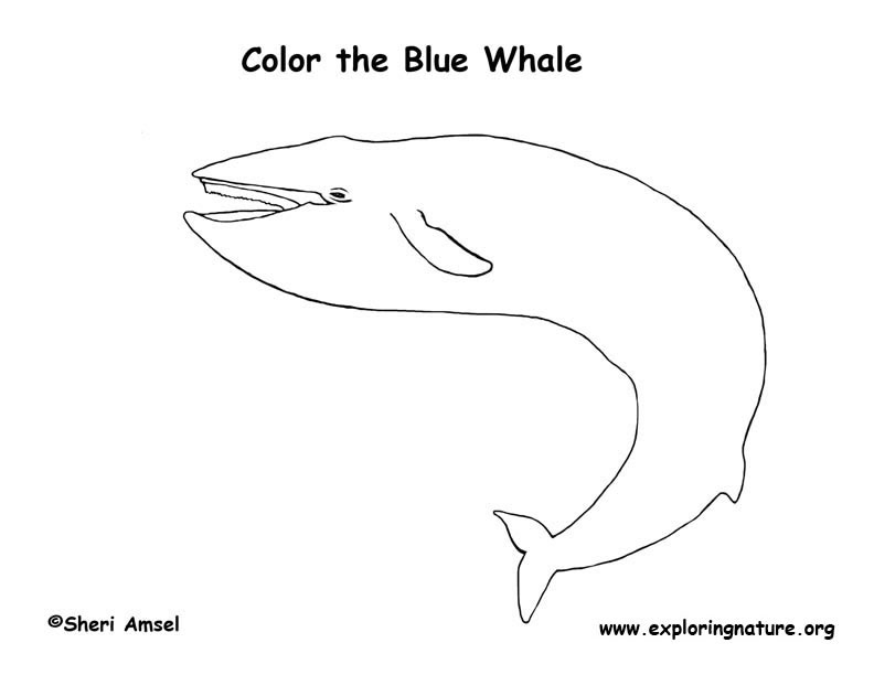 Whale Coloring Pages Pdf : Whale blue coloring page