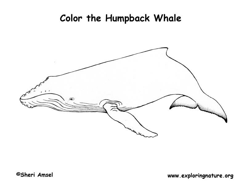 Whale Coloring Pages Pdf : Whale humpback coloring page