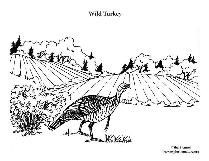 Wild Turkey Coloring Page, Wild Turkey (in Habitat) Coloring Page