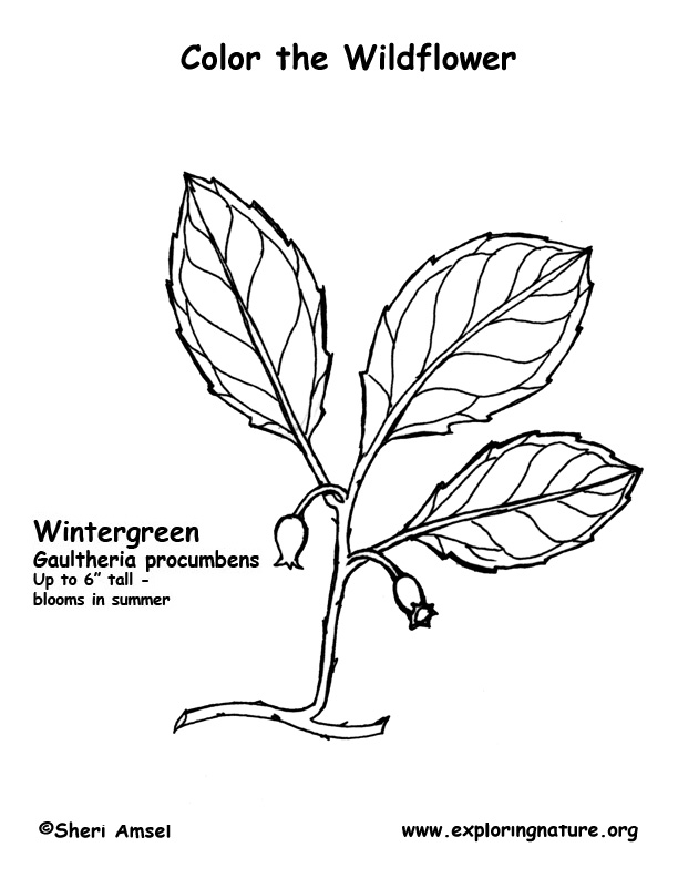 Wintergreen Coloring Page
