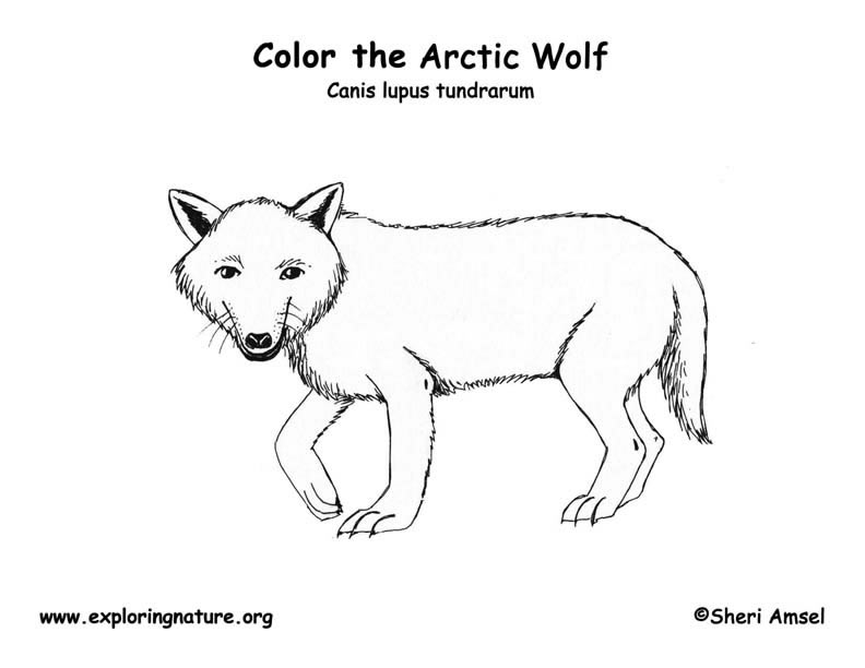 Wolf Arctic Coloring Page Exploring Nature Arctic Animals Coloring Pages