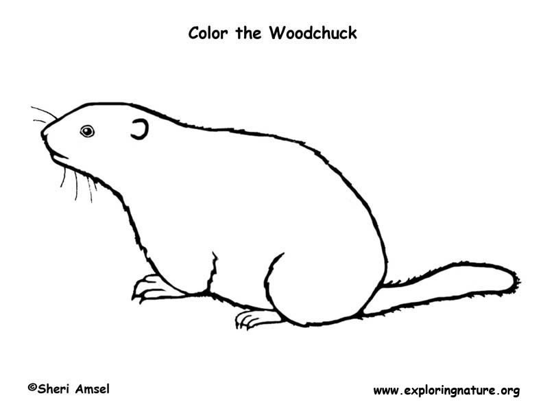 woodchuck coloring page