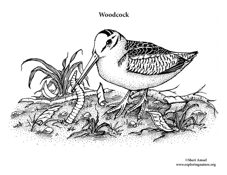 Woodcock Coloring Page