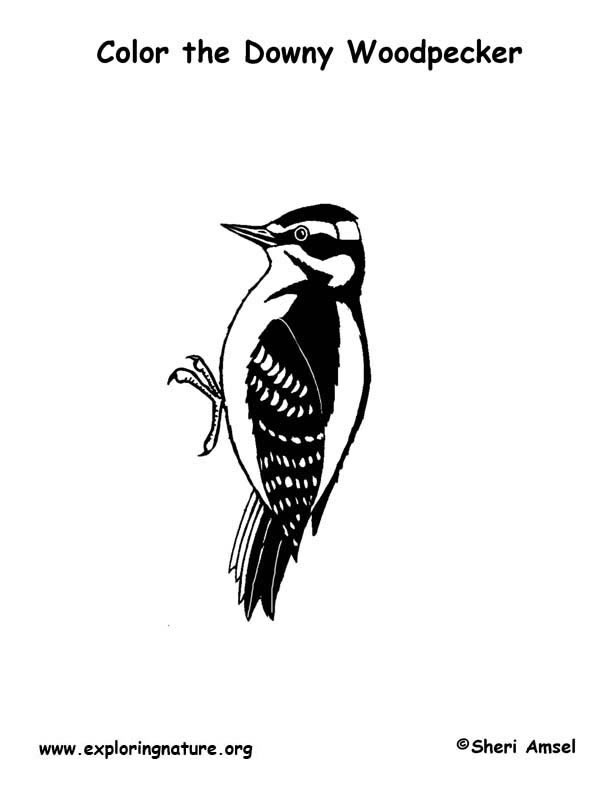 woodpecker downy coloring page