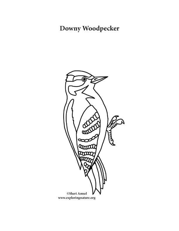 Woodpecker (Downy) Coloring Page