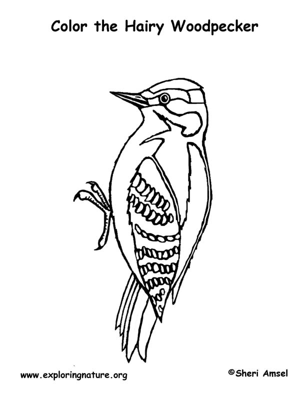 woodpecker hairy coloring page
