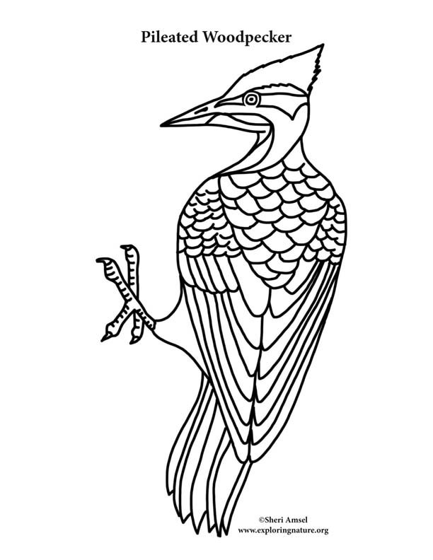Woodpecker Pileated Coloring Page