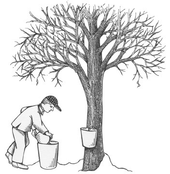 Sugar Maple Tree Drawing