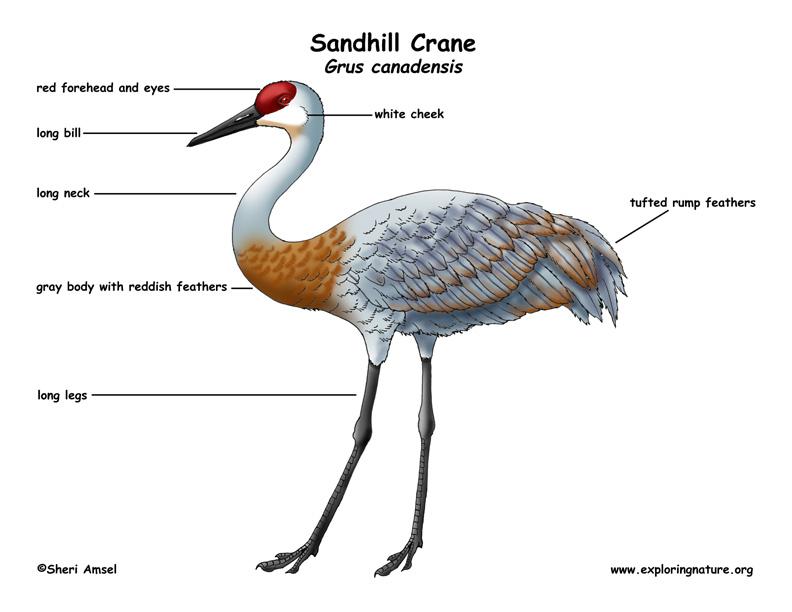 Crane  Sandhill