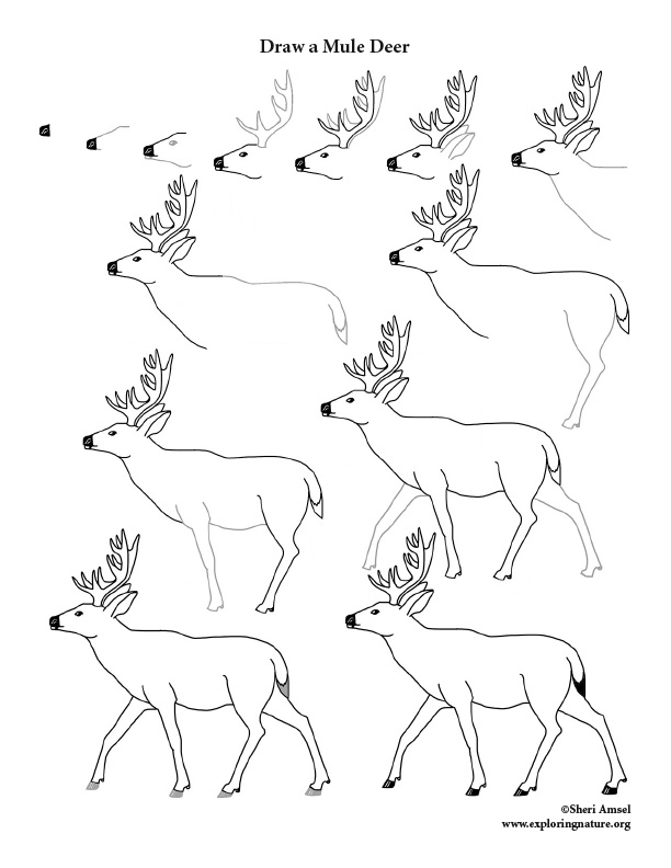 Deer (Mule) Drawing Lesson