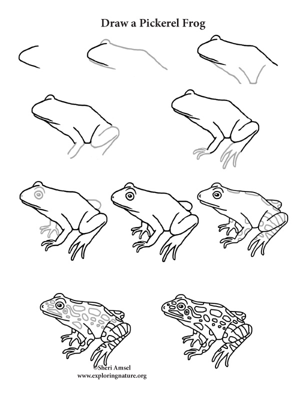 Frog (Pickerel) Drawing Lesson, Draw a Pickerel Frog