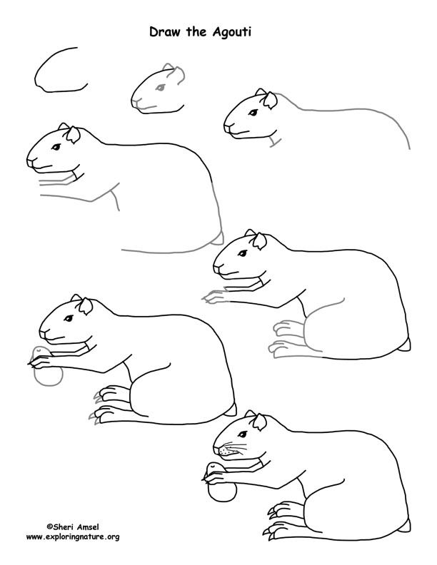 Agouti Drawing Lesson
