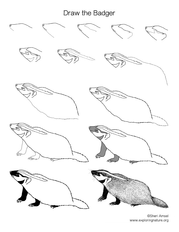 Badger Drawing Lesson