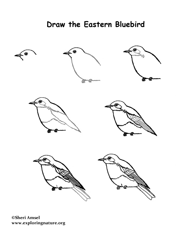 bluebird eastern drawing lesson