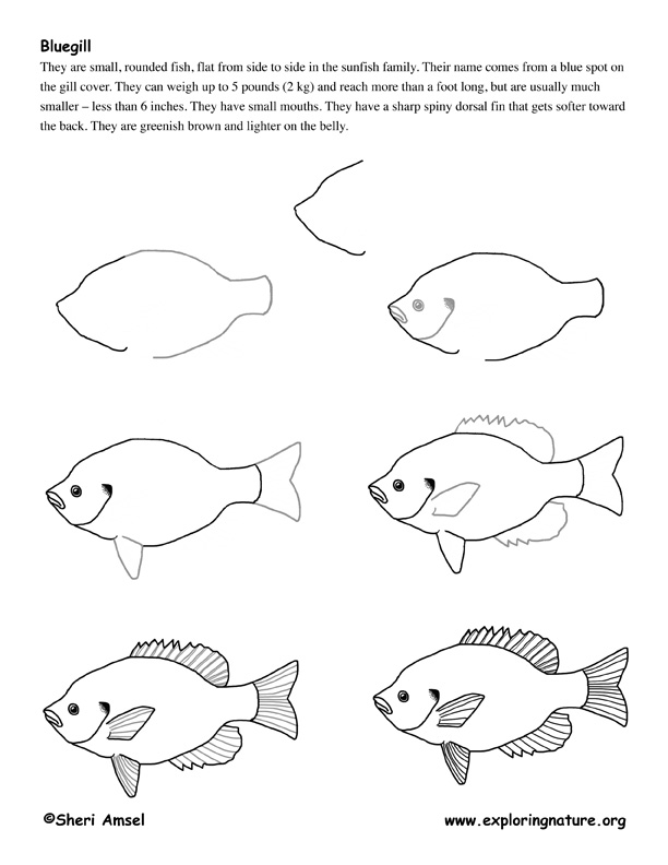 bluegill fish drawing lesson