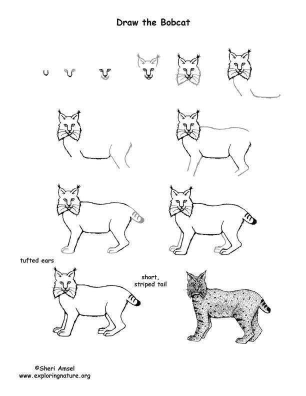 Bobcat Drawing Lesson