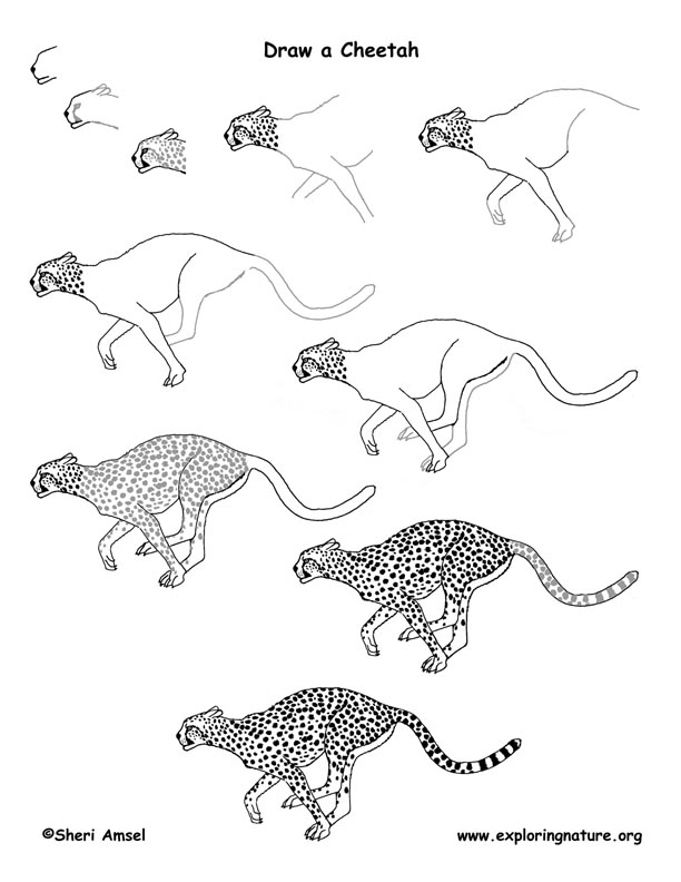 Cheetah Drawing Lesson