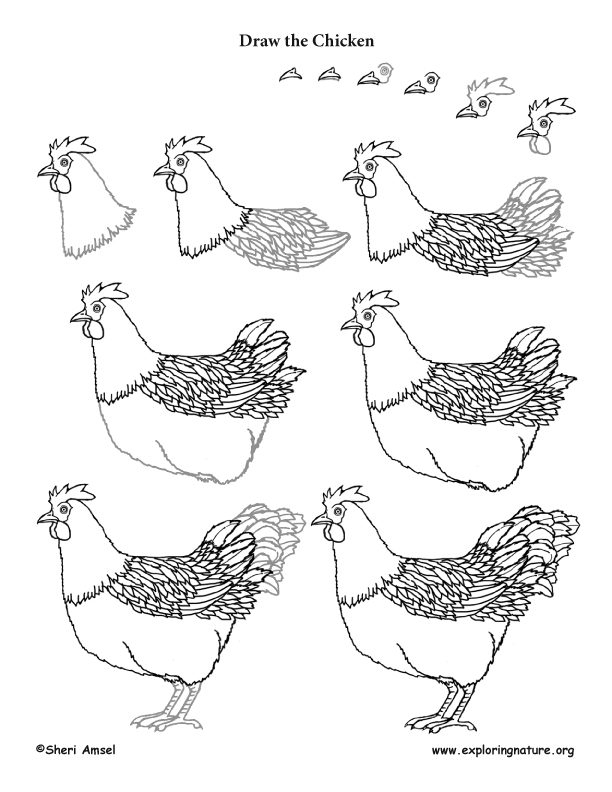 Chicken Drawing Lesson