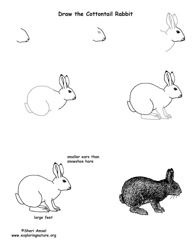 Rabbit (Cottontail) Drawing Page