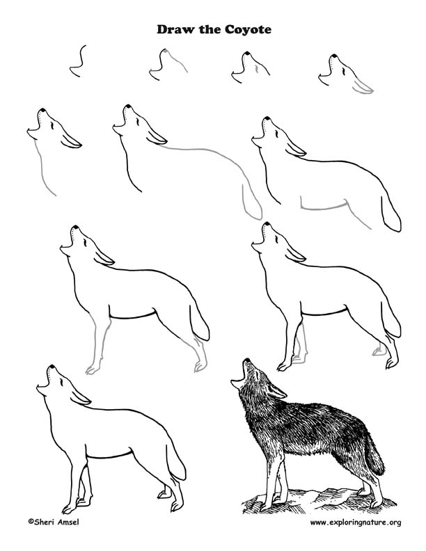 Coyote Drawing Lesson